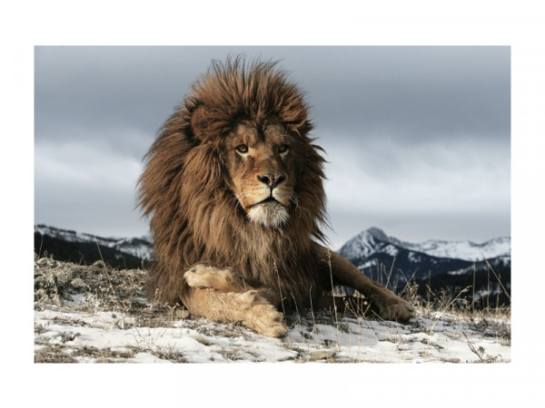 OBRAZ LION 120X80